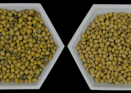 First Seed-to-Plant Spread of Harmful Soybean Virus