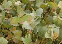 Asian Soybean Rust rust_field_view
