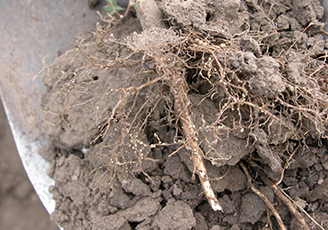 Soybean Cyst Nematode damage