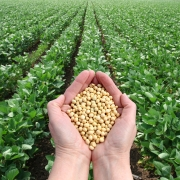Hands holding soybeans