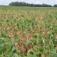 White Mold NCSRP Research
